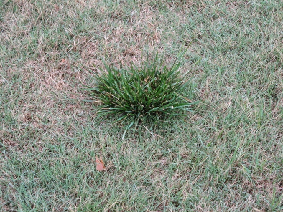 Weeds That Look Like Grass List Of Grass Like Lawn Weeds Lawn Chick