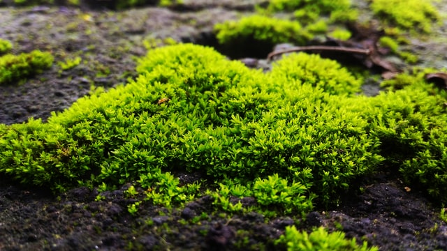 Moss In Lawn Guide How To Remove Treat Or Accept A Mossy Lawn